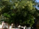Le Frene oxyphylle très répandu dans la région de Tiaret (Algérie), surtout en arbre d'alignement en ville.