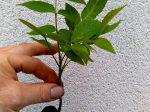 Bonjour, je voulais partager avec les lecteurs / lectrices une image de la germination et naissance d'un noyer. Merci d'adapter la photo si nécessaire. Cordialement. Ruben Jardinier concepteur paysagiste