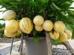 C'est la première année que je cultive cette plante et le résultat est très satisfaisant. De beaux fruits mûrs à souhait et une très bonne confiture.