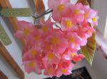 Bégonia bambou ou Bégonia maculé (Begonia maculata ou tamaya) -Fleurs-