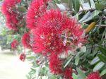 Floraison du Pohutukawa du parc paysager de Monserrate à Sintra au Portugal créé par Sir Francis Cook (1817-1901)