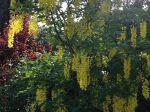 Cytise commun, arbre aux papillons et prunus, dans un jardin du Gard rhodanien.