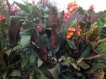 Mes cannas Tropicana