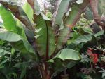 Bananier maurelli de 2 ans hauteur 4m50 en région parisienne