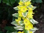 Lysimaque ponctuée Alexander variété panachée qui a tendance à s'étaler, pousse très bien en plein soleil