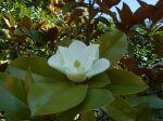 photo de mon magnolia, prise l'été dernier.