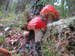 Amanite tue-mouches en forêt