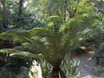 Fougère arborescente au jardin du Venzu à Lorient
