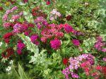 gamme de couleurs infinie pour dianthus barbatus