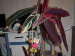 magnifique  plante  lorsque la  tige  PAON est présente