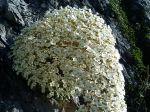 fleur du saxifrage des pyrenées