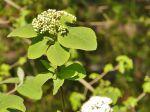 Viorne mancienne (Viburnum lantana)