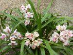 Particulièrment bien fleuri cette année - 5 hampes florales. Toujours dehors sur une terrasse au sud à Avignon. Dans un petit pot à réserve d'eau il refleurit chaque année depuis très longtemps sans aucun entretien - à part l'engrais spécial orchidée - ni changement de pot.