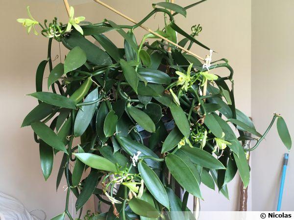 Vanillier Vanille Planter Cultiver Multiplier