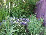 le jardin des violettes bordure d'érigéron
