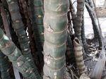 Le bambusa ventricosa me semble plutôt être celui de la photo que je vous propose (Photo prise à Battambang au Cambodge)