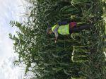 Un faux coqueret de plus de 3 m de haut dans un champ de maïs doux dans les Landes