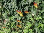 floraison tardive, sans doute due à la canicule 2019