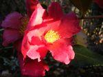 1 de mes camellias d'automne préférés...
