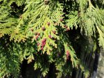 "Cyprès de Lawson (Chamaecyparis lawsoniana) : ""Cônes mâles"""