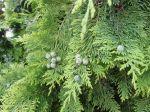 """Cyprès de Lawson (Chamaecyparis lawsoniana) : """"Cônes femelles"""" et feuilles"""