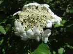 Physocarpe à feuilles d'obier (Physocarpus opulifolius) en fleurs sur les Bords de l'Orge