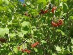 Physocarpe à feuilles d'obier (Physocarpus opulifolius) -Feuilles et fruits-