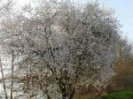 Épine noire ou Prunellier (Prunus spinosa) couvert de fleurs au début mars (espèce sauvage)