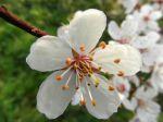 Épine noire ou Prunellier (Prunus spinosa) -Détail de la fleur-