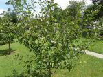 Jeune mirabellier (Prunus domestica subsp. syriaca) donnant déjà des fruits.