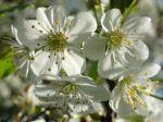 Fleur du mirabellier