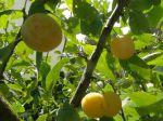 Fruits du mirabellier ou mirabelles