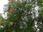 Marronnier commun à fleurs rouge (Aesculus × carnea) photographié à Vincennes
