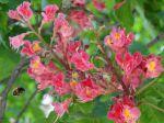 Fleurs de marronnier commun à fleurs rouge (Aesculus × carnea) convoitées par un hyménoptère