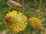 Fleur de saule marsault ou saule des chèvres (Salix caprea)