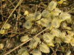Floraison du saule marsault (Salix caprea) en bord de rivière