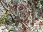 Aeonium arboreum var. purpureum