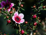 première fleur de l'arbre à thé