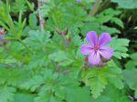 "Géranium vivace ""Herbe-à-Robert"" (Geranium robertianum)"