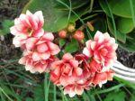 Kalanchoé à fleurs doubles (Kalanchoe blossfeldiana 'Calandiva')