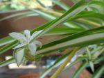 Phalangère ou Plante-araignée (Chlorophytum comosum)