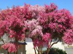 Magnifique arbre à thé dans la cour de mon école