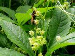 Fleurs du Cyclanthère caïgua