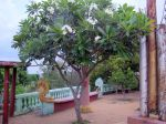 Frangipanier blanc (Plumeria alba) : Aspect de l'arbre en fleurs