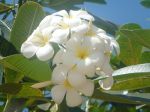 Frangipanier blanc (Plumeria alba) : Bouquet de fleurs blanches