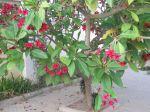 Frangipanier commun ou F. rouge (Plumeria rubra) à fleurs rouges (Plumeria) : Aspect de l'arbre en fleurs