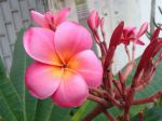 Le frangipanier rouge (plumeria rubra) peut offrir toute une palette de couleurs de fleurs et même des fleurs bicolores