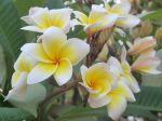 Le frangipanier rouge (plumeria rubra) peut offrir toute une palette de couleurs de fleurs et même des fleurs bicolores Jaune et blanc