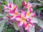 Le frangipanier rouge (plumeria rubra) peut offrir toute une palette de couleurs de fleurs et même des fleurs bicolores  Rose et jaune