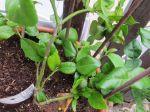Combava (Citrus hystrix) -Aspect général d'un jeune plant cultivé en pot en Normandie